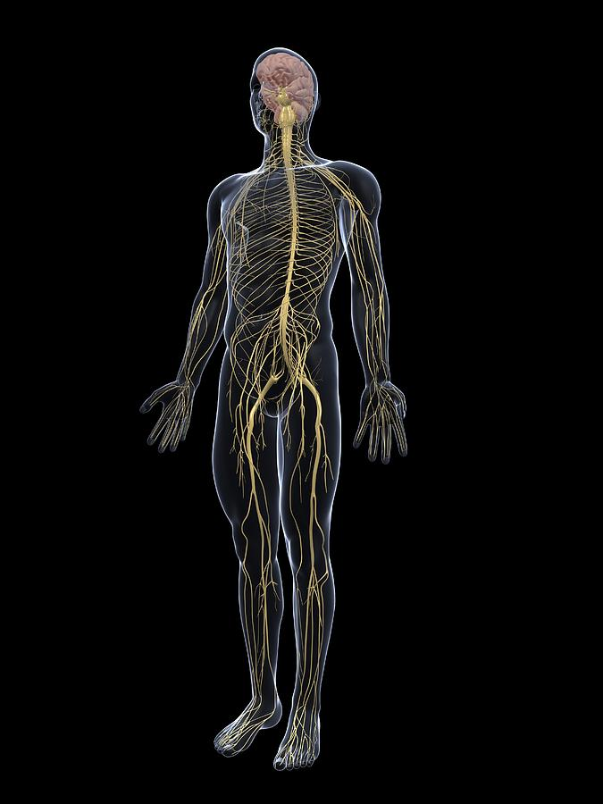 19-human-nervous-system-artwork-sciepro