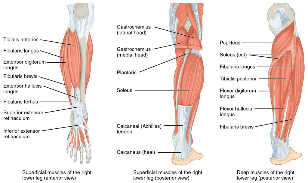 Lower-Leg-Calf-Muscle-Anatomy